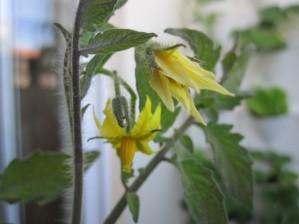 11ª semana de horta na varanda, algures no Porto. Bicheza nas beterrabas enquanto os tomates estão mesmo mesmo a chegar, morangos é que nem por isso.